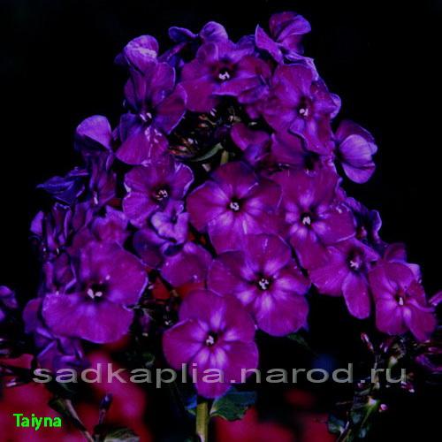 Цветы темно фиолетовые